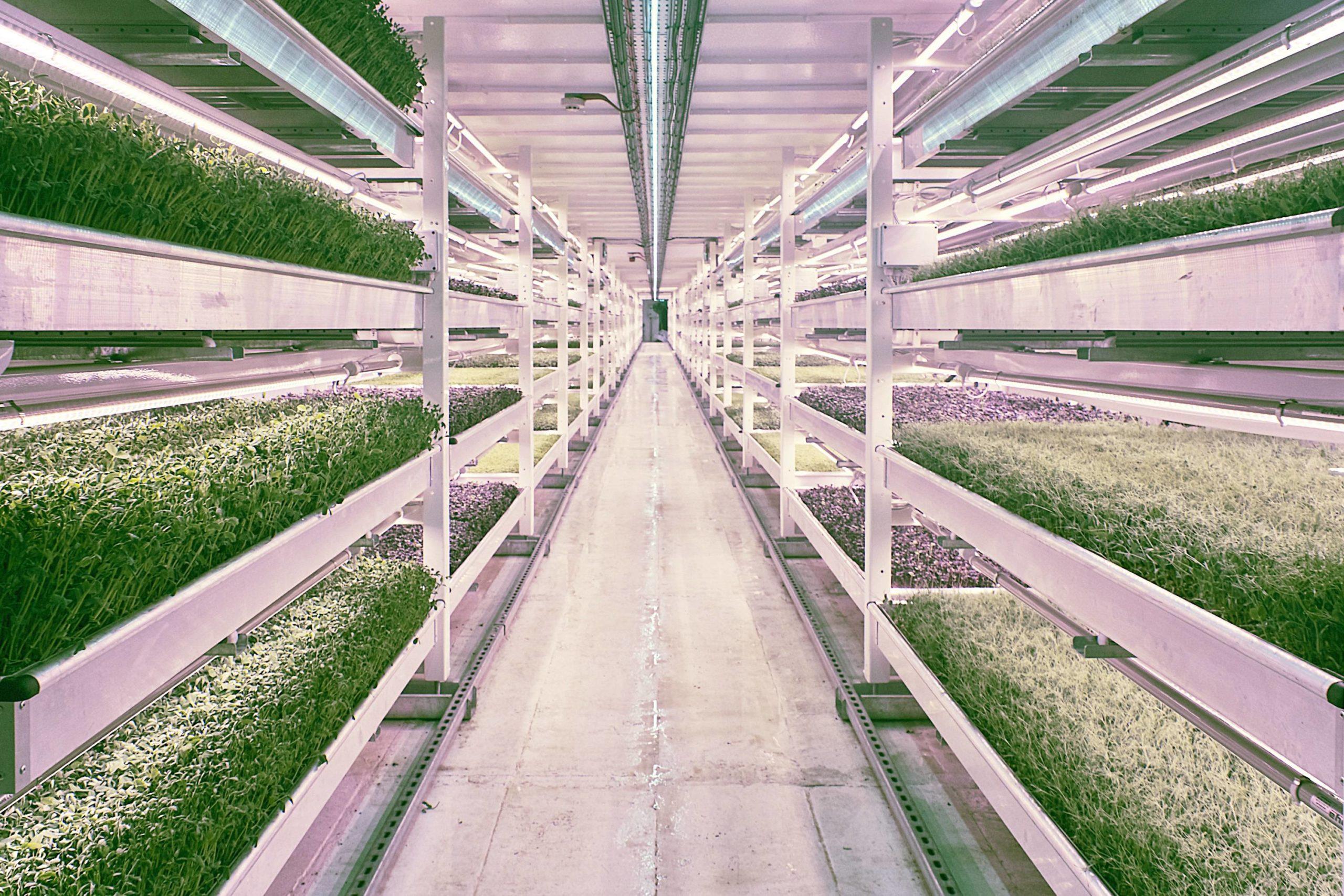 Салат переживет изменение климата. Но какой ценой?