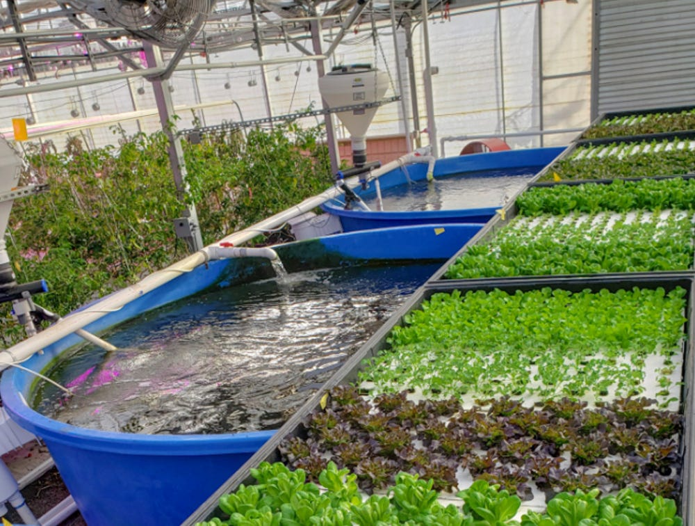 Аквапоника растет, чтобы выращивать свежие овощи и рыбу