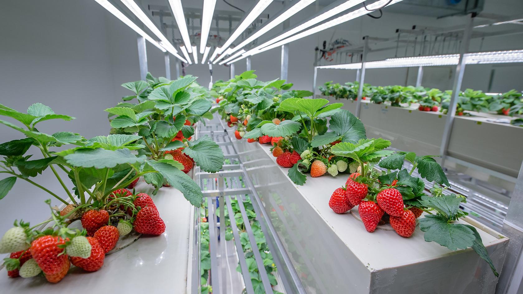 Выращивание клубники на вертикальной ферме более выгодно благодаря автоматизации