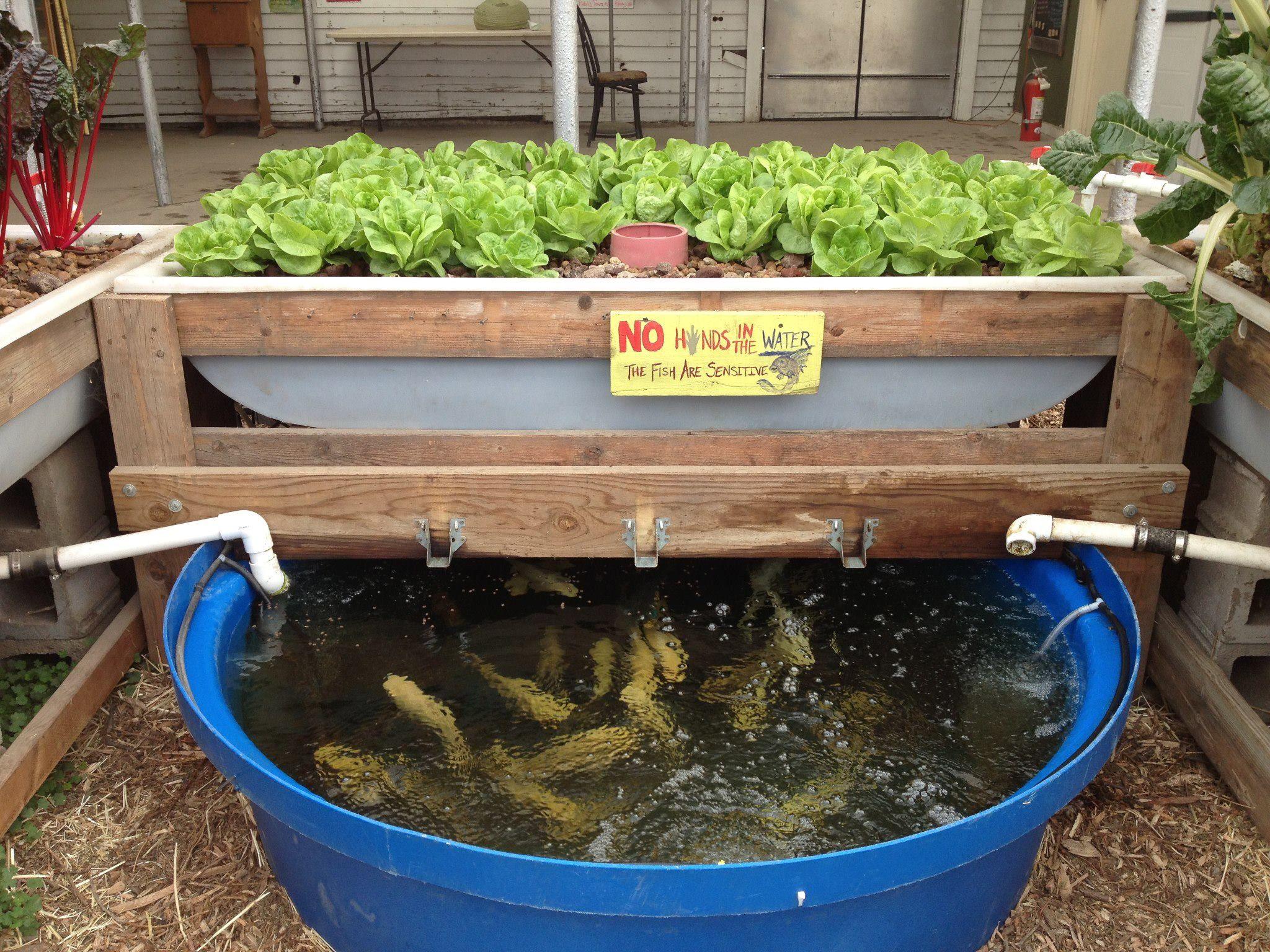 Выращивание овощей на основе гидропонных технологий и разведение рыбы в Баглунге